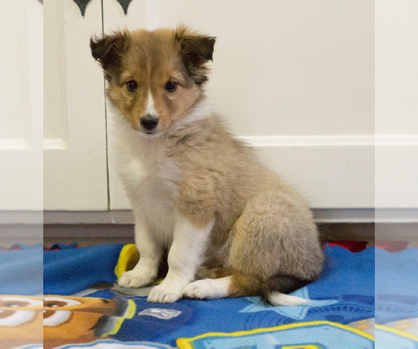 Medium Photo #5 Shetland Sheepdog Puppy For Sale in MILWAUKEE, WI, USA