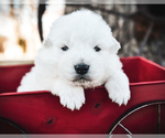 Great Pyrenees Puppy For Sale in STRAFFORD, MO, USA