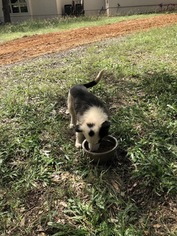 Border Collie Puppy For Sale in NEW BRAUNFELS, TX, USA