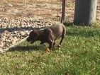 German Shorthaired Pointer-Vizsla Mix Puppy For Sale in AMERICAN FORK, UT, USA