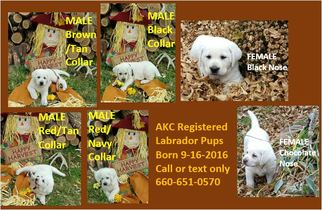 Labrador Retriever Puppy For Sale in MACON, MO