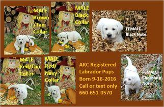 Labrador Retriever Puppy for sale in MACON, MO, USA