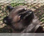 Puppy 3 Pomeranian