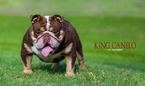 English Bulldog Puppy For Sale in HOUSTON, TX, USA