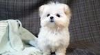 PUREBRED TEACUP Maltese puppy for LA SF NY Seattle