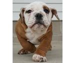 Puppy 2 Beabull-English Bulldog Mix