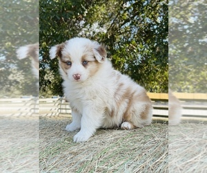 Australian Shepherd Puppy for Sale in CLEARWATER, Florida USA