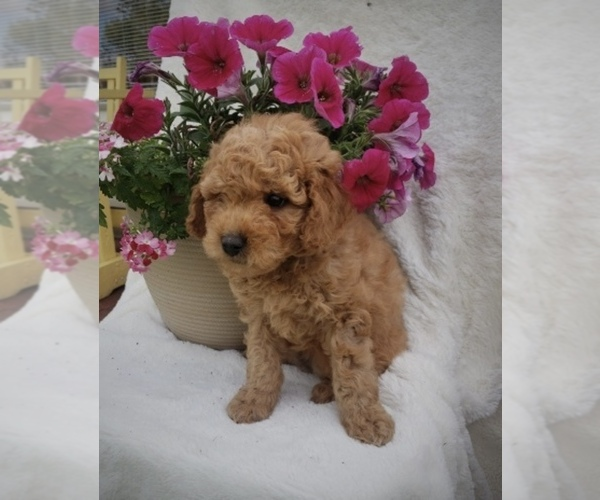 Medium Photo #1 Goldendoodle-Poodle (Miniature) Mix Puppy For Sale in NORTH VERNON, IN, USA