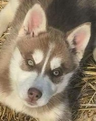 Siberian Husky Puppy For Sale in LEWISPORT, KY, USA