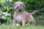 American Bully Puppy For Sale in STEWARTSTOWN, PA, USA