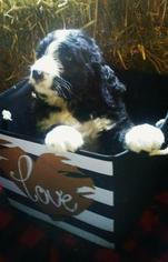 Bernese Mountain Poo Puppy For Sale in BELLEVILLE, PA, USA