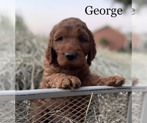 Irish Doodle Puppy for Sale in ALBA, Texas USA