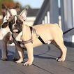 French Bulldog Puppy For Sale in MANHATTAN, NY, USA