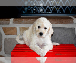 Goldendoodle Puppy for sale in FLORA, IL, USA