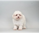 Puppy 1 Poodle (Toy)