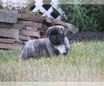 Small Photo #2 Jug Puppy For Sale in MOUNT SOLON, VA, USA