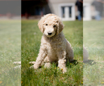 Puppy 6 Poodle (Standard)