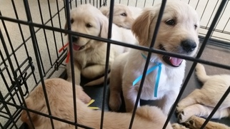 Golden Retriever Puppy for sale in LEAVENWORTH, KS, USA
