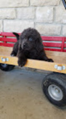 Newfoundland Puppy For Sale in DUNDEE, OH