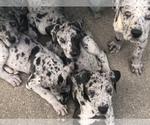 Great Dane Puppy For Sale near 14606, Gates, NY, USA