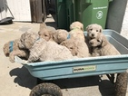 Goldendoodle Puppy For Sale in STOCKTON, California,