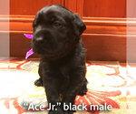 Labrador Retriever Puppy For Sale in ELM GROVE, WI, USA