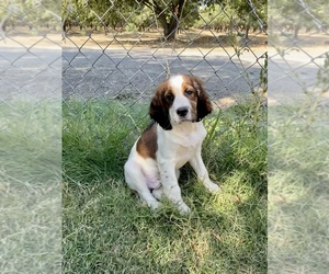 English Springer Spaniel Puppy for Sale in VACAVILLE, California USA