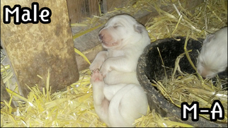 Great Pyrenees Puppy For Sale in ALDERSON, WV