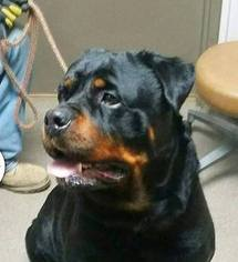 Rottweiler Puppy For Sale in MISHAWAKA, IN