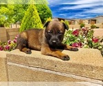 Puppy 2 Belgian Malinois