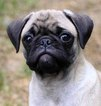 Pug Puppy For Sale in PORTLAND, OR, USA