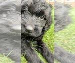 Puppy 1 Golden Irish-Poodle (Miniature) Mix