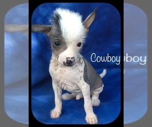 Chinese Crested Puppy for Sale in HOLLAND, Michigan USA