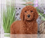 Rusty Standard Size AKC Poodle