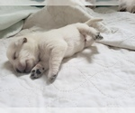 Small Photo #35 Labrador Retriever Puppy For Sale in NEW LENOX, IL, USA