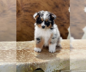 Australian Shepherd Puppy for sale in WESLEY CHAPEL, FL, USA
