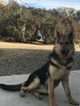 German Shepherd Dog Puppy For Sale in AGUANGA, CA, USA