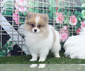 Pomeranian Puppy for sale in MARIETTA, GA, USA