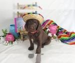 Puppy 5 Miniature Labradoodle