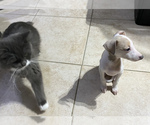 Small #8 Italian Greyhound