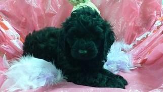 Morkie Puppy for sale in CONOWINGO, MD, USA