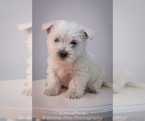West Highland White Terrier Puppy for sale in PLEASANTON, KS, USA
