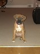 Boxer Puppy For Sale in DREXEL HILL, Pennsylvania,