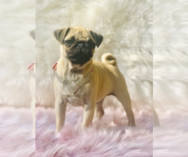 Medium Photo #15 Pug Puppy For Sale in CANTON, CT, USA
