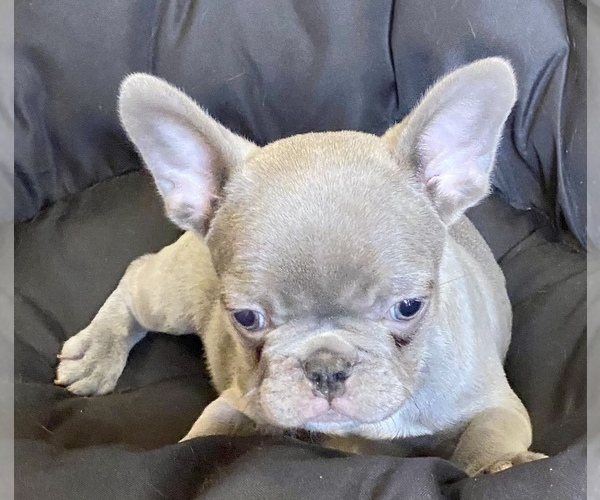 Medium Photo #4 French Bulldog Puppy For Sale in LOX, FL, USA