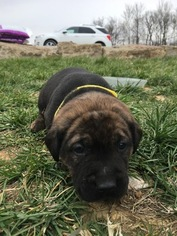 Mastador Puppy For Sale in MONTGOMERY, IN
