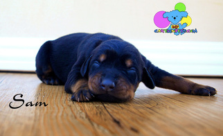 Doberman Pinscher Puppy For Sale in CORNING, CA, USA