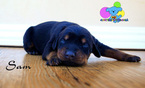 Doberman Pinscher Puppy For Sale in CORNING, CA,