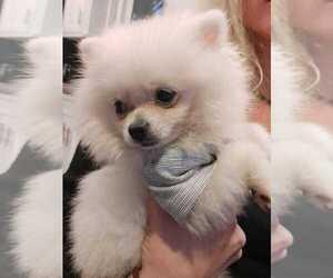 Pomeranian Puppy for Sale in BALDWIN HILLS, California USA