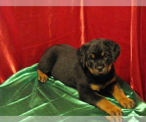 Rottweiler Puppy for Sale in BOY RIVER, Minnesota USA